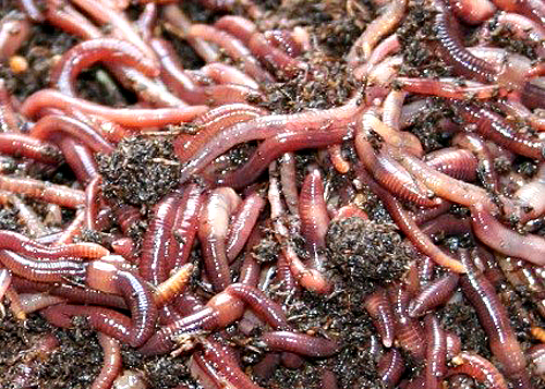 bunch-of-redwormsweb
