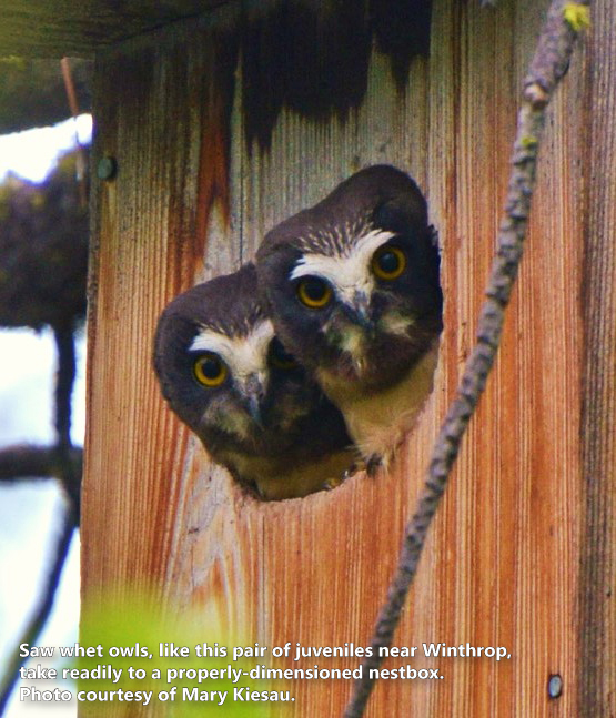Nice-Nests-Saw-Whet-Owls copy