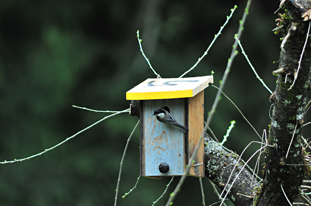 Black-capped chickadees are common cavity-nesters through the Inland Northwest. Photo courtesy of Megan Kirkpatrick.