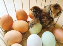 Tammys-Chicks