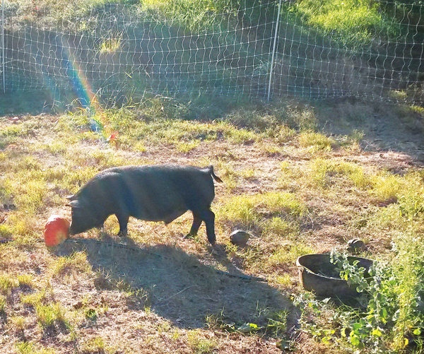 A Farming Anecdote: The Electric Fence and the Guinea Hog