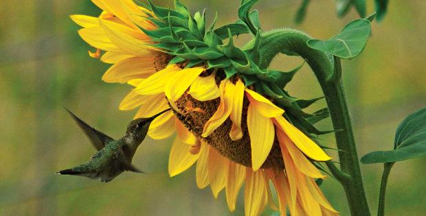 Thomas-Sunflower